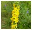 лекарственные травы репешок обыкновенный, лечебные свойства репешка обыкновенного, лечение ран, лечение ран народными...